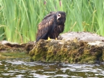 Wild White-Tailed Eagle chicks fledge in Ireland after 110 years