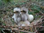 Buzzard chicks