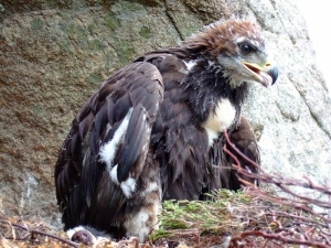 Eagle chick before fledging
