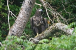 Eagles go wild in Kerry