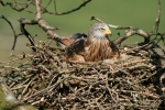 Adult Kite on nest
