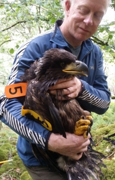 White-tailed Eagle chick, Kerry 2015