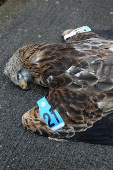 Two generations of the same kite family – confirmed poisoned