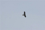 Hen harrier in fligh