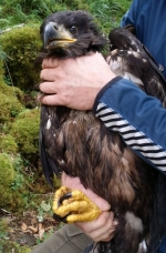White-tailed Eagle chick, Beara July 2015
